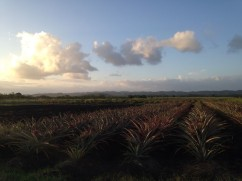 A beautiful view of the pineapple crop from Don Marcos in Lajas.