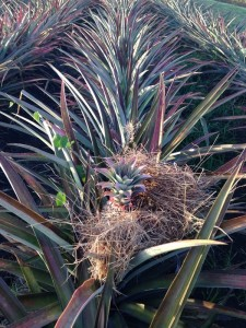A practice Don Marcos uses to evade the sun burning the pineapples.