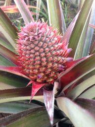 Pineapple of the variety Cabezona.