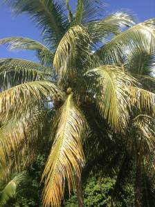 This is one of many coconut palms situated in the back part of my house. These palms were planted here mostly because their roots are well known to hold large amounts of terrain in place. Coconut palms require full sunlight and drained soils, but they can resist most soils and strong winds.