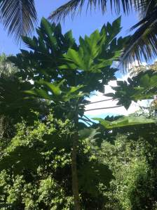 "This is the first and only milky tree planted in my house and it is located between the coconut palms. It has only given us one harvest. Its fruits are also known as ""papayas, ""and its origin is from Central America."