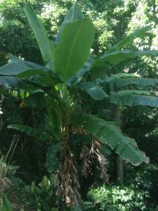 Here is one of many clumps of banana located in the steep part of my house's backyard. The last time we planted a clump of banana there was about two years ago, and they have been reproducing since. Clumps of banana grow and harvest in less than a year and unlike other trees, they can harvest in any season.