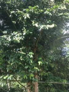 Here we can see a medium-sized soursop tree which is located near the back fence of my house. It had grown too big and a couple of years ago my father cut most of its branches for it to begin to grow again. Soursop is native to Mexico, Cuba, Central America, the Caribbean and Northern South America.
