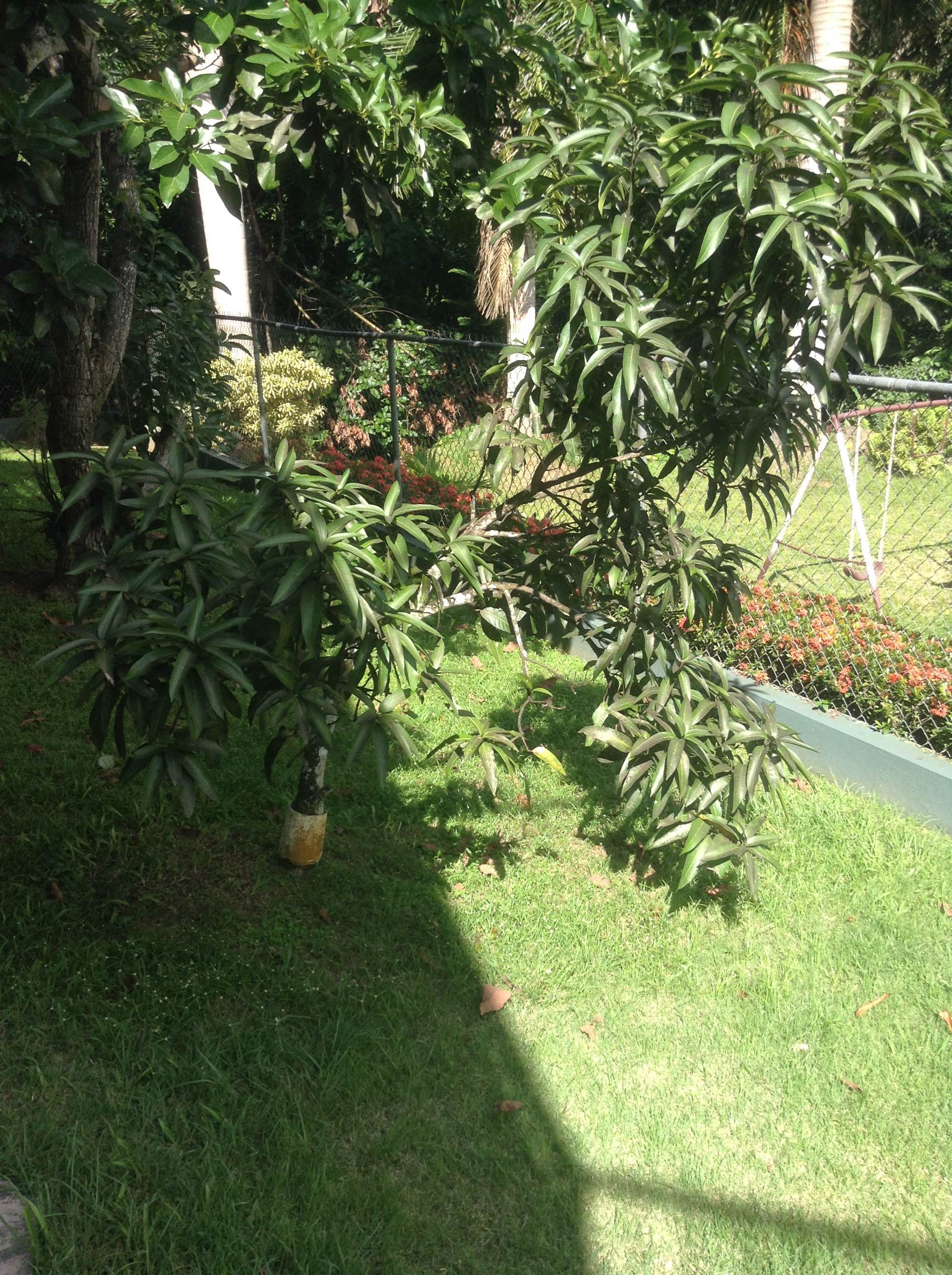 fruit and vegetable trees in puerto rican backyards the colegio