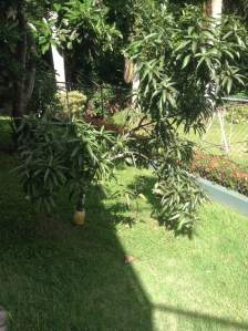This is a small mango tree, planted in the right side of my house, just before the avocado tree. It used to be a bit bigger but some of its branches were cut down and it has not grown back since. Mango trees can grow up to 131 feet tall and can reach a radius of 33 feet.