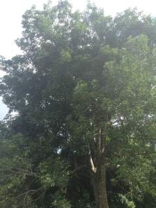 "Here is a huge ""quenepa"" tree, which is planted in my neighbor's backyard. Last year, my neighbor sold it's harvest because he was offered a good amount of money for it. These trees grow very slow but they can reach a height of 85 feet."