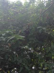 Here we see a tamarind tree full of tamarinds, located in my neighbors backyard. That tree was not planted there by my neighbor, it grew by itself. Tamarind trees are indigenous to tropical Africa and unlike other trees, this one is used for its fruits and for its wood.